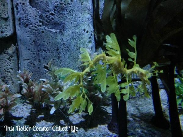 Leafy Seadragon