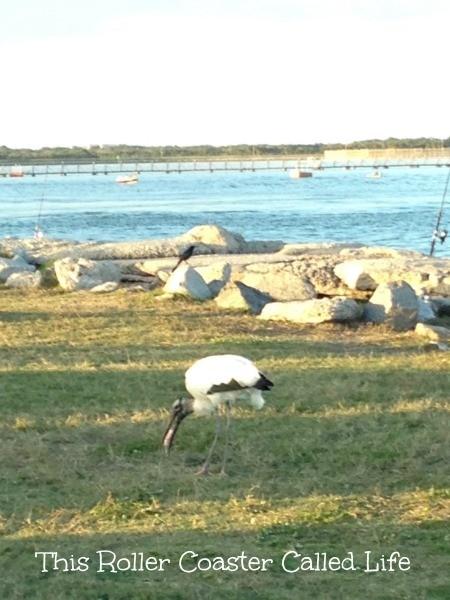Hungry Bird Caught the Fish Jetty Park
