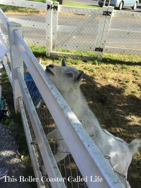 Goat at Hershey Farm Restaurant and Inn