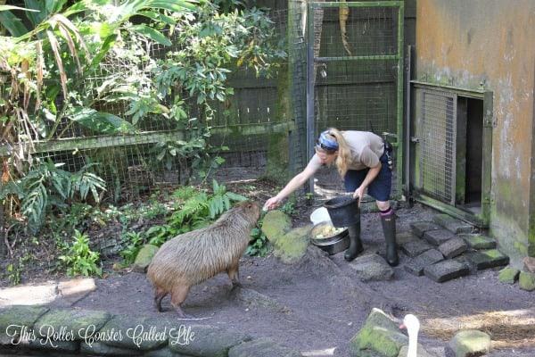 Brevard Zoo Capybara