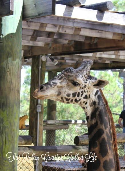 Brevard Zoo Giraffe