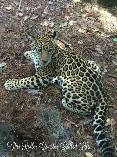 Brevard Zoo Jaguar