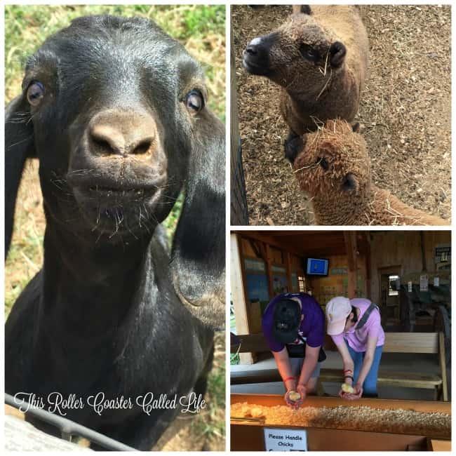 Farm Animals at Cherry Crest