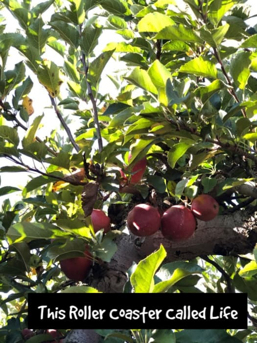 apples in the tree